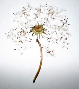 Deconstructed dandelion